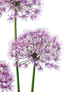 """Allium"" limited edition print and greetings card from an original watercolour."