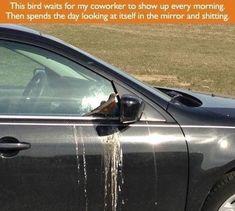 Quando este pássaro não teve a menor consideração pelo carro no qual continuou cagando: | 18 vezes em que os animais não deram a mínima