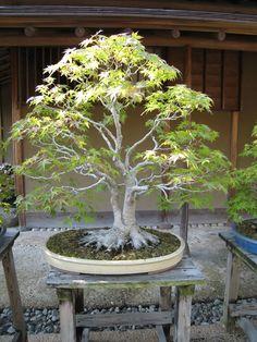 Bonsai Forest, Bonsai Garden, Garden Trees, Bonsai Trees, Plantas Bonsai, Miniature Trees, Small Trees, All Plants, Ikebana
