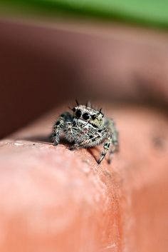 Tan Jumping Spider...they are sooo cute!