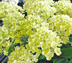 Hydrangea paniculata Bombshell: In St. Louis, we're hearing lots of buzz about this new paniculata cultivar. Compact (2-3'), blooms nonstop from midsummer to frost. Blossoms gradually go from white to rosy.