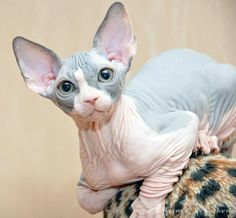 Sphinx cat - I want one of these too!!