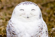 A very happy snowy owl in Ontario, Canada. Photo by Edward Kopeschny/The Comedy Wildlife Photography Awards.