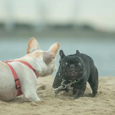 """""""It's ON!!"""", French Bulldogs playing at the Beach ; )"""