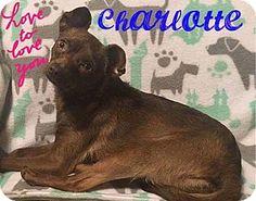 Fort Wayne, IN - Chihuahua/Miniature Pinscher Mix. Meet Charlotte, a dog for adoption. http://www.adoptapet.com/pet/17391431-fort-wayne-indiana-chihuahua-mix