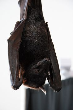 """'Malayan Flying Fox  (Pteropus vampyrus)  Also known as the Common Flying Fox  Order: Chiroptera  Family: Pteropodidae'. The Malayan flying fox is the largest bat in the world. * It is called the """"flying fox"""" because its face resembles that of a fox."""