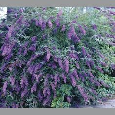 Butterfly Bush  10 Buddleia davidii Nanho by HopeSpringsNursery