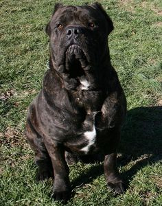 Cane Corso. We saw one of these at the dog park today and it was SO SOFT. Like a bunny. You would not believe.