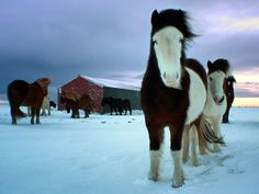 Horses, Iceland  Photograph by Marketa Kalvachova,  Icelandic horses are out all year, even through the winter. I captured these in-foal mares in southern Iceland in December 2011.