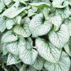 A stunner for the shade, Brunnera 'Jack Frost' offers silver-variegated leaves that look good from spring to fall. Name: Brunnera macrophylla 'Jack Frost' Size: To 2 feet tall and wide Zones: Plant it with: Lungwort, white daffodils, and bleeding heart Best Perennials, Shade Perennials, Shade Plants, Flowers Perennials, Shade Garden, Garden Plants, Fruit Garden, Japanese Painted Fern, Silver Plant