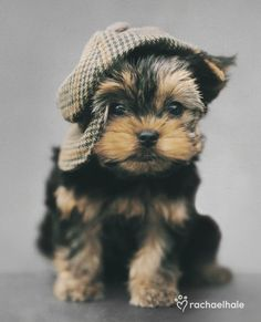 Maxwell (Yorkshire terrier) How can you put a cap on cuteness, wonders Maxwell.