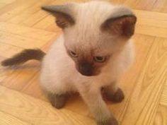 Sprzedam kota syjamskiego kot syjamski