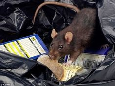 However, when your home becomes a residence for rats and other types of rodents to stray into, you need to call rat control Moorpark company right away. Chimpanzee, Orangutan, Termite Pest Control, Rat Control, Harvest Mouse, Skye Terrier, Pest Control Services, House Mouse, Shih Tzus
