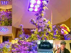Before and After~we are ecospeed~   Test base in Portland .great Job~Jay( 509 919 6030)  $699/unit including shipping cost to your door,overnight delivery  1500w monster grow light UV-IR Full spectrum .3 switches . veg/bloom switchable. www.ecospeedled.com carter@ecospeedled.com Whatsapp :+86 132 6578 6006