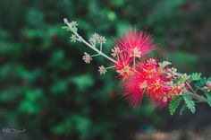 Red Fairy Duster by Eileen Critchley