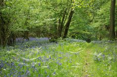 On our farm.... love going down to the woods to sit with the bluebells