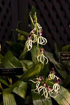 Encyclia Orchid