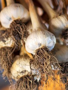 When about half of the garlic leaves turn yellow, withhold water and knock over the tops. Allow the garlic to cure in the garden for a week. Harvest the bulbs, remove any soil, and hang them in a cool, dry place for two weeks. Once tops are dry, trim them off 1/2 inch above the bulb (or braid softneck types) and trim the roots at the base of the bulb.