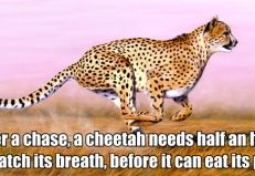 After a chase, a cheetah needs half an hour to catch its breath, before it can eat its prey.