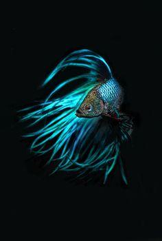 Beautiful Blue crown-tailed Betta Fish