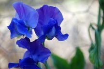 Flores particulares a la temporada de invierno: Guisantes de olor