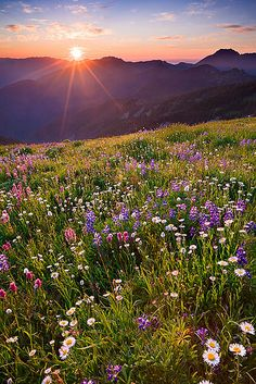 Olympic Wildflower Sunset - Obstruction Point, Olympic National Park