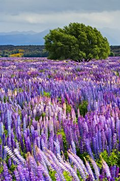 Fiordland National Park, New Zealand Each year starting in the end of November and peaking in early December, fields of bright purple Russell Lupins bloom across New Zealand's South Island. One of the most beautiful spots to go Lupin-spotting is in Fiordland National Park, home to the equally gorgeous Milford Sound.