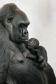 Easy Science for Kids All About Gorillas - The Heaviest Primates. Learn fun exciting facts on Gorillas with our Kids Science Online Site on Gorillas! Mother And Baby Animals, Cute Baby Animals, Animals And Pets, Funny Animals, Strange Animals, Primates, Gorillas In The Mist, Baby Gorillas, Baby Orangutan