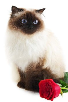 Himalayan Cats and Himalayan Kittens