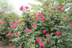 Hogyan gondozzuk a Knock Out rózsákat? - Díszfák és cserjék - Díszkert