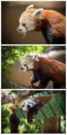 Red pandas represent a unique family that diverged from the rest of the Carnivore Order, and scientists place them in their own unique family: Ailuridae. Learn more: http://animals.sandiegozoo.org/animals/red-panda  (photos by Bob Worthington)