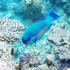 Snorkelling on the Great Barrier Reef with Finn #goprohero #tropicalfarnorth greatbarrierreef #parrotfish #greatbarrierreef by bearbare_ http://ift.tt/1UokkV2