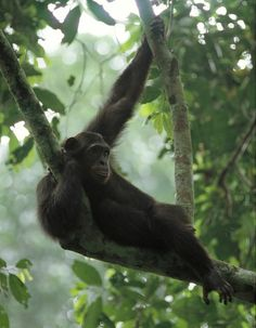 """""""Rather than flee at the sight of humans, which is typical in areas where the apes have been hunted, the chimpanzees in the Goualougo Triangle would approach us and move closer to get a better look at their bipedal cousins,"""" said Crickette Sanz, a lead ape researcher with the Goualougo Triangle Ape Project, and an assistant professor at Washington University 