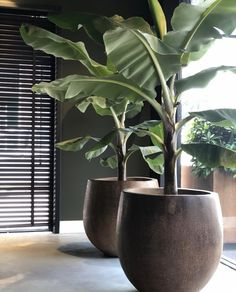 How beautiful is this combination? 💚 Banana trees and palm pots - NU Puur & Groen House Plants Decor, Plant Decor, Decoration Plante, Outdoor Planters, Interior Plants, Backyard Landscaping, Tropical Landscaping, How Beautiful, Garden Projects