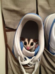 Sugar Glider Sneakers - this sugar glider must think he can make the sneakers smell sweeter! *groan*, I know! I so want one