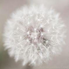 Great dandelion