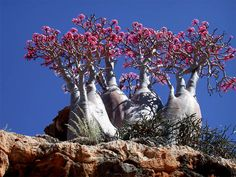 Socotra Island - The desert rose Adenium obesum subsp. sokotranum (Apocynaceae)is one of the most famous of the Socotran bottle-trees