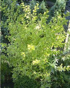 Ligustrum ovalifolium Aureum - Port