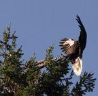 Eagle landing in Woodard Bay. Photo: Barry Troutman