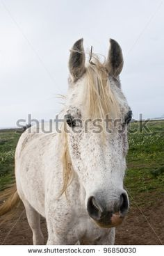 stock photo : white horse closeup