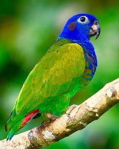 La Pione à tête bleue (Pionus menstruus) est une espèce d'oiseaux appartenant à la famille des Psittacidae. #Pione #Pionetetebleue #Pionusmenstruus