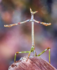 This stick mantis is almost crab-like in its colorful patterns, striking eyes, and the way it holds its forelegs.