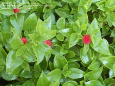 Pink Flowering Succulent Plant Identification | Plant Identification: DOLLYBELLE picture (Succulent?)
