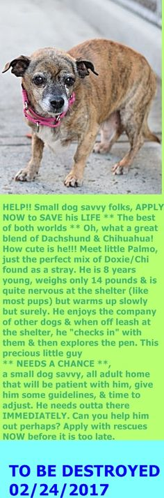Brooklyn Center  My name is PALMO. My Animal ID # is A1104187. I am a male br brindle and white dachshund and chihuahua sh mix. The shelter thinks I am about 8 YEARS old.  I came in the shelter as a STRAY on 02/19/2017 from NY 11377, owner surrender reason stated was STRAY.  http://nycdogs.urgentpodr.org/palmo-a1104187/
