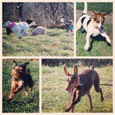 CRAZY fun happening at country camp! #evasplaypupspa #dogs #dogcamp #doggievacays #dogsinnature #runfree #sillypooches #smilingdogs #siblings #dobermansofinstagram #brusselsgriffonsofinstagram #jackrussellsofinstagram #huskiesofinstagram #muttigrees #badassbk #adoptdontshop #rescuedog #autumn #sweaterweather #endlessmountains #mountpleasant #PA #pennsylvania