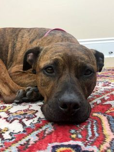 Help This Sweet Pup Find A Home Thx For Sharing American