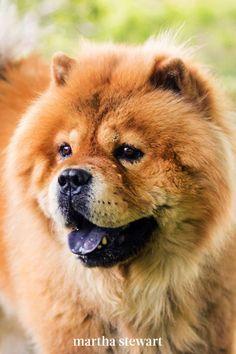 Martha's favorite, the Chow Chow, is a type of dog that usually forms a loyal bond with one person who provides strong leadership, Jackson says. At home, they have a regal, distinctive stance and develop a strong bond to their immediate family. #marthastewart #lifestyle #petcare #pets Fluffy Dog Breeds, Fluffy Dogs, Quiet Dog Breeds, Coton De Tulear Dogs, 15 Dogs, Dog Sounds, Great Pyrenees Dog, Wolf Spirit Animal, Outdoor Dog