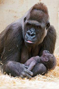 Mother gorilla with her baby – Annette Leyendecker-Tonnemacher - Baby Animals Like Animals, Animals And Pets, Baby Animals, Funny Animals, Adorable Animals, Primates, Gorilla Tattoo, Silverback Gorilla, Baby Gorillas