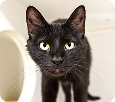 Seville, OH - Domestic Shorthair. Meet Grace-Fee waived, a cat for adoption. http://www.adoptapet.com/pet/18289861-seville-ohio-cat
