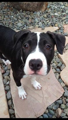 Aria ~ Pit Bull Terrier Mix • Young •Female •Medium Whiskers, Tails and Ferals Napa, CA Still listed 1/23/14 Pit Bull Terrier Mix • Young • Female • Medium **COURTESY LISTING** Aria is a vibrant, silly 8 month old Pit mix puppy. She is potty trained and crate trained. Does well with kids, other dogs, some cats. Aria will grow to be an active little girl so she will need to go into a home where she can get lots of exercise and a ton of love.